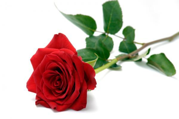 dr david harper who has conducted research for over 25 years at lake naivasha in kenya has warned that cut price valentine roses exported
